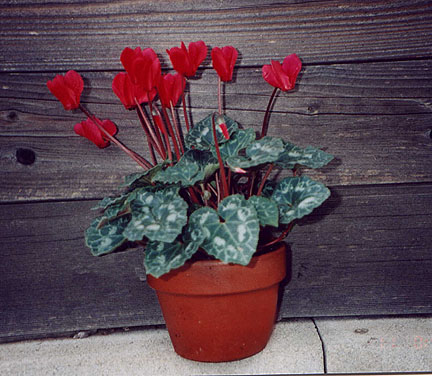 image of cyclamen